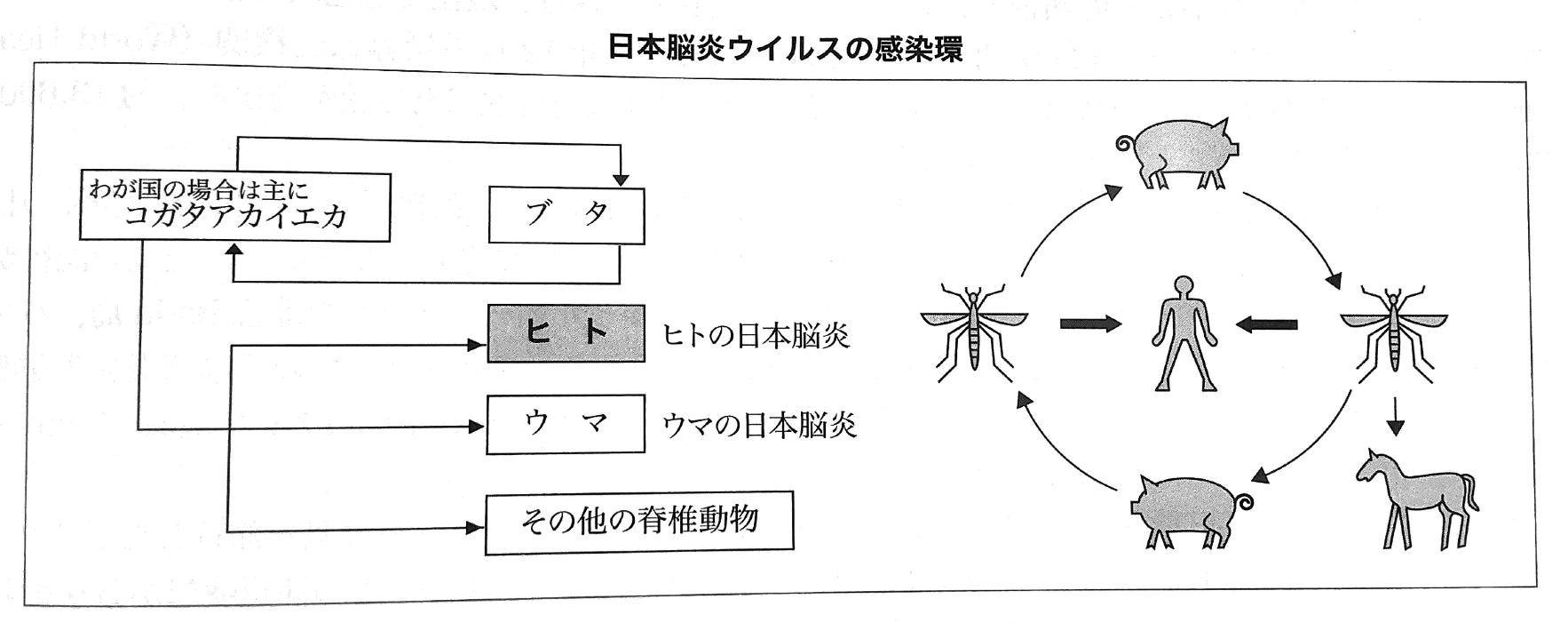 日本脳炎ーブタ